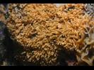 Southern Staghorn Bryozoan - Bryozoans<br>(<i>Diaperoforma californica</i>)