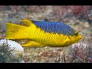 Spanish Hogfish - Wrasse<br>(<i>Bodianus rufus</i>)