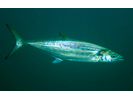 Spanish Mackerel - Mackerel<br>(<i>Scomberomorus maculatus</i>)
