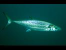 Spanish Mackerel - Mackerel<br>(<i>Scomberomorus maculatus</i>)