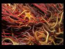 Spiny Brittlestar - Echinoderms<br>(<i>Ophiothrix spiculata</i>)