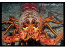 Spiny Lobster - Arthropods<br>(<i>Panulirus interruptus</i>)