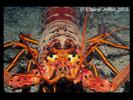 Spiny Lobster - Arthropods<br>(<i>Panulirus interruptus</i>)