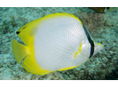 Spotfin Butterflyfish - Butterflyfish<br>(<i>Chaetodon ocellatus</i>)