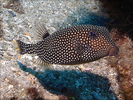 Spotted Boxfish - Boxfish <br>(<i>Ostracion meleagris</i>)
