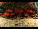Panamic Soldierfish - Squirrelfish - Candil<br>(<i>Myripristis leiognathus</i>)