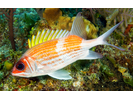 Squirrelfish - Squirrelfish<br>(<i>Holocentrus adscensionis</i>)