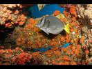 Yellowtail Surgeonfish - Surgeonfish - Cirujano<br>(<i>Prionurus punctatus</i>)