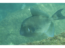 Finescale Triggerfish - Triggerfish<br>(<i>Balistes polylepis</i>)