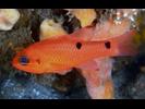Twospot Cardinalfish - Cardinalfish<br>(<i>Apogon pseudomaculatus</i>)
