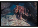 Two-spot Octopus - Mollusks<br>(<i>Octopus bimaculatus</i>)