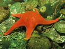 Vermilion Star - Echinoderms<br>(<i>Mediaster aequalis</i>)