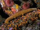 Warty Sea Cucumber - Echinoderms<br>(<i>Parastichopus parvimensis</i>)