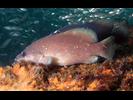 Whitespotted Soapfish - Seabass<br>(<i>Rypticus maculatus</i>)