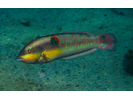 Wounded Wrasse - Wrasse - Señorita<br>(<i>Halichoeres chierchiae</i>)