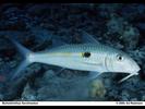 Yellowstripe Goatfish - Goatfish<br>(<i>Mulloidichthys flavolineatus</i>)