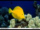 Yellow Tang - Surgeonfish<br>(<i>Zebrasoma flavescens</i>)